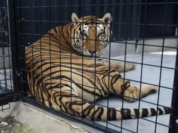 Uno de los siete tigres que un circo español ha donado junto a un ejemplar de león