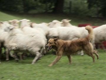 Kit cuida cada día un rebaño de unas 210 ovejas y cabras en Vizcaya