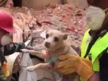 Chihuahua rescatado bajo los escombros en México