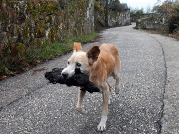 Una perra lleva los restos calcinados de su cría tras los incendios en Galicia