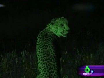 Un guepardo en Wild Frank