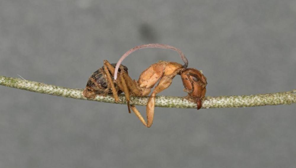 El reloj biologico de un hongo parasito somete a las hormigas zombi
