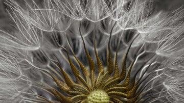2º. Detalle de una planta en flor de Senecio vulgaris, perteneciente a la familia de las Asteraceae