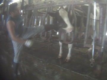 Un trabajador propina una patada a una vaca
