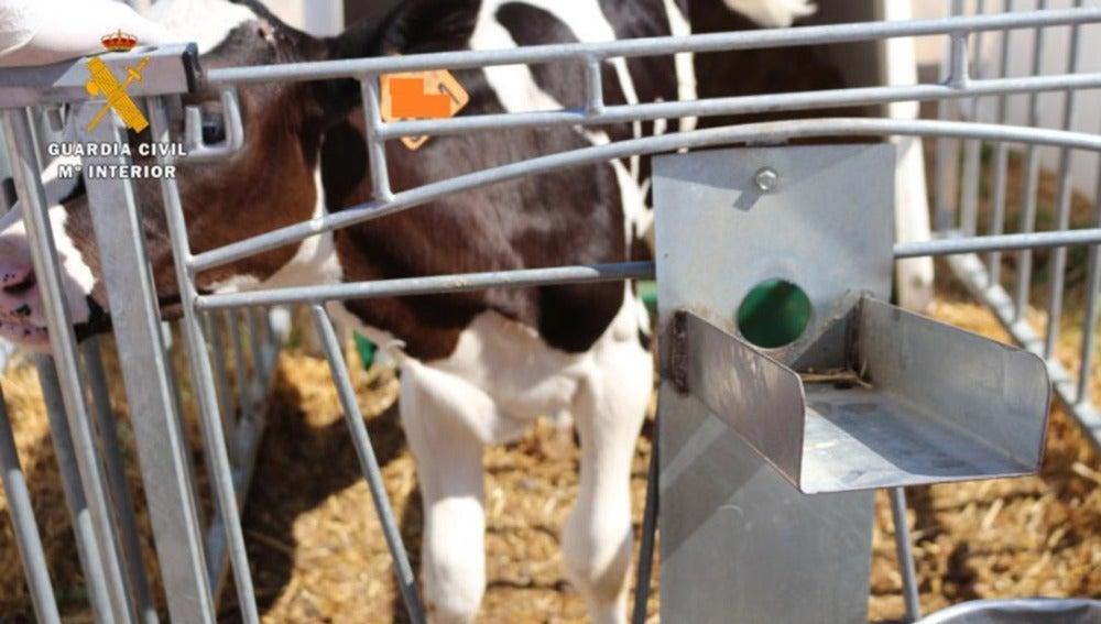 Una de las vacas que fueron sometidas a la mutilación de cuernos y cola