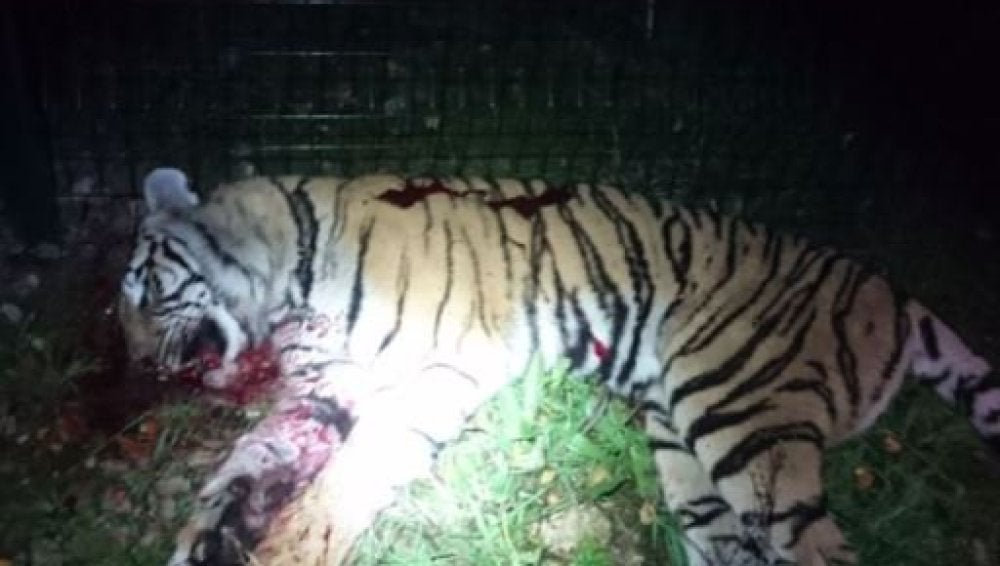 El tigre tras ser abatido