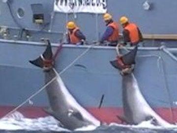 Imagen de una de las cacerías de ballenas que denuncia Sea Shepherd