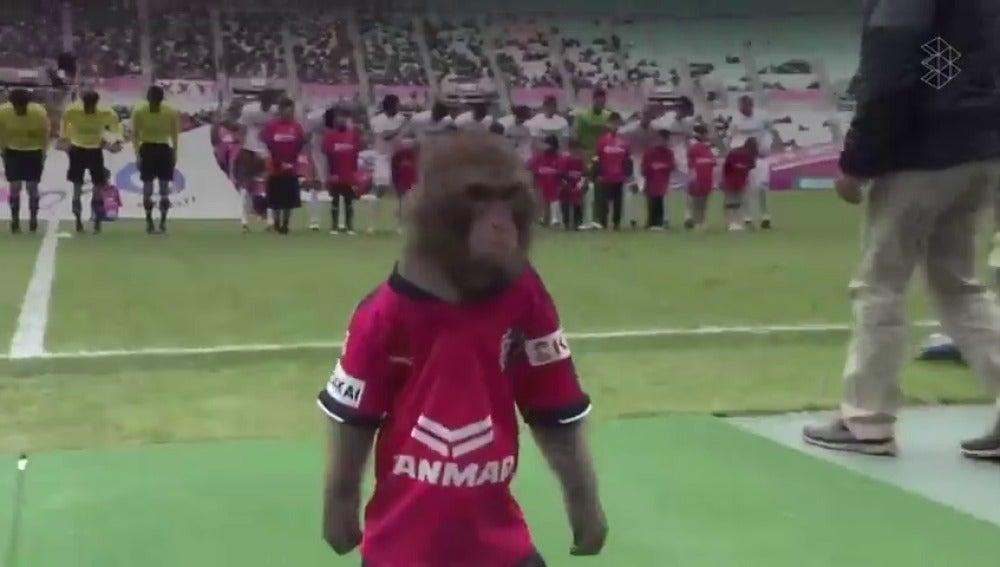 Indignación en Japón por lo que hicieron a este mono antes de un partido de fútbol