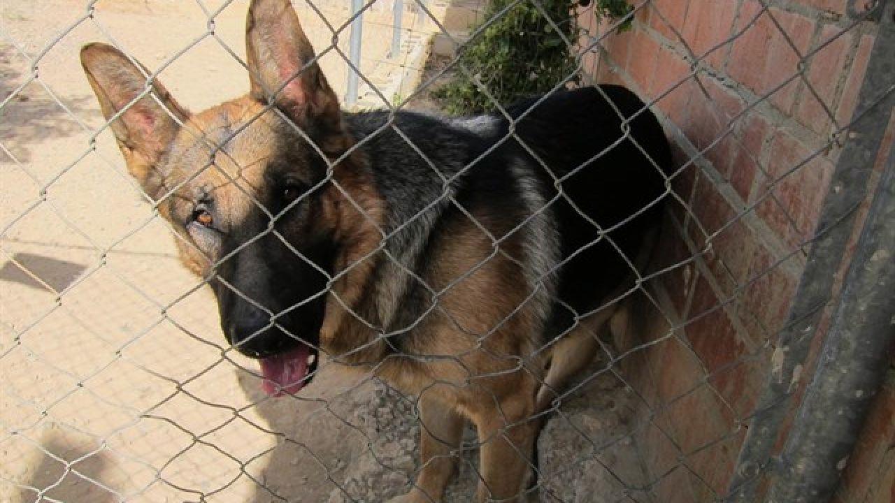 Un pastor alemán esperando a ser adoptado en una perrera