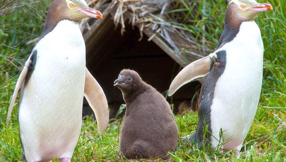 La pesca pone en peligro a uno de los pingueinos mas amenazados del mundo