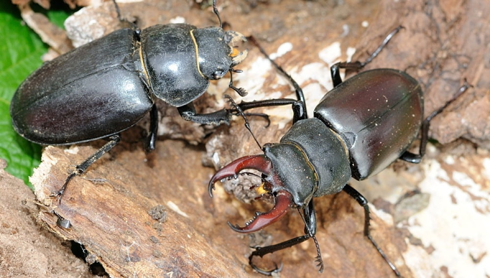 Los ciudadanos participan en la conservacion de un escarabajo amenazado