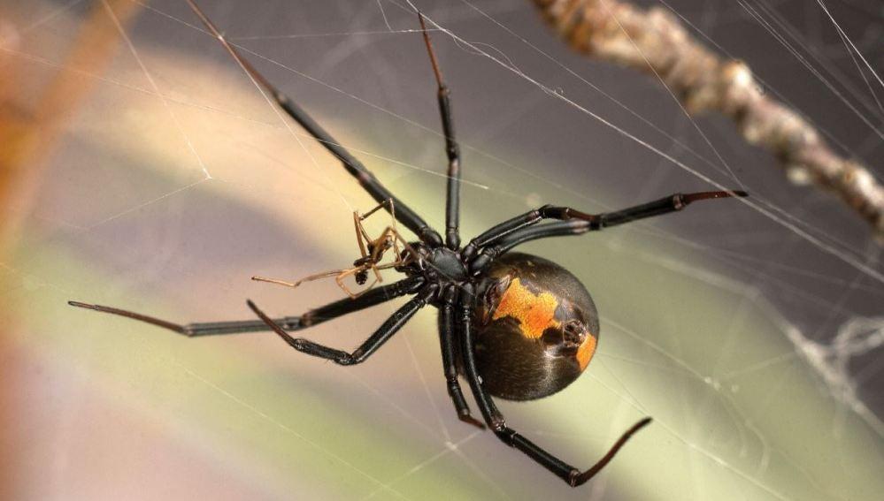 La tactica sexual de los machos arana asaltacunas contra el canibalismo