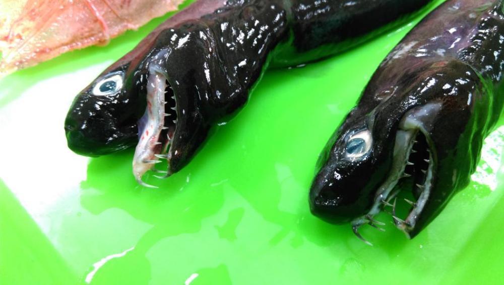 Dos ejemplares de 'tiburón víbora' capturados en aguas taiwanesas