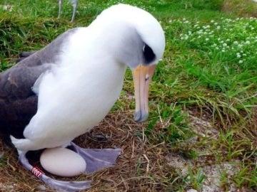 La hembra de albatros Wisdom pone un huevo