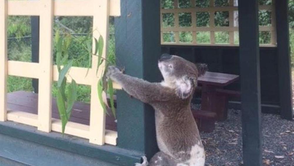 El koala muerto atornillado a un poste en el parque Brooloo