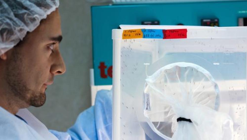 El parasito de la malaria se hace supermutante para huir de los farmacos
