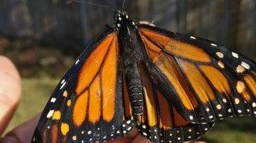 Mariposa reina con el ala operada