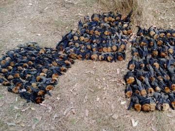 Cientos de cadáveres de murciélagos en Campbelltown