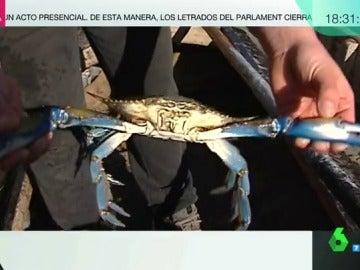 Imagen de un cangrejo azul