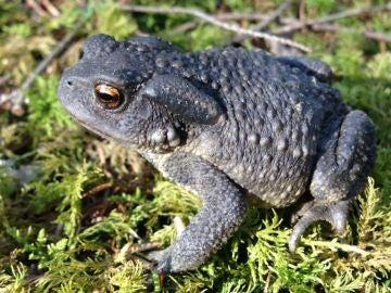 La hibridacion entre sapos ayuda a entender el origen de nuevas especies
