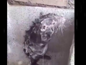 Un roedor 'duchándose', la última sensación viral que esconde un cruel caso de maltrato