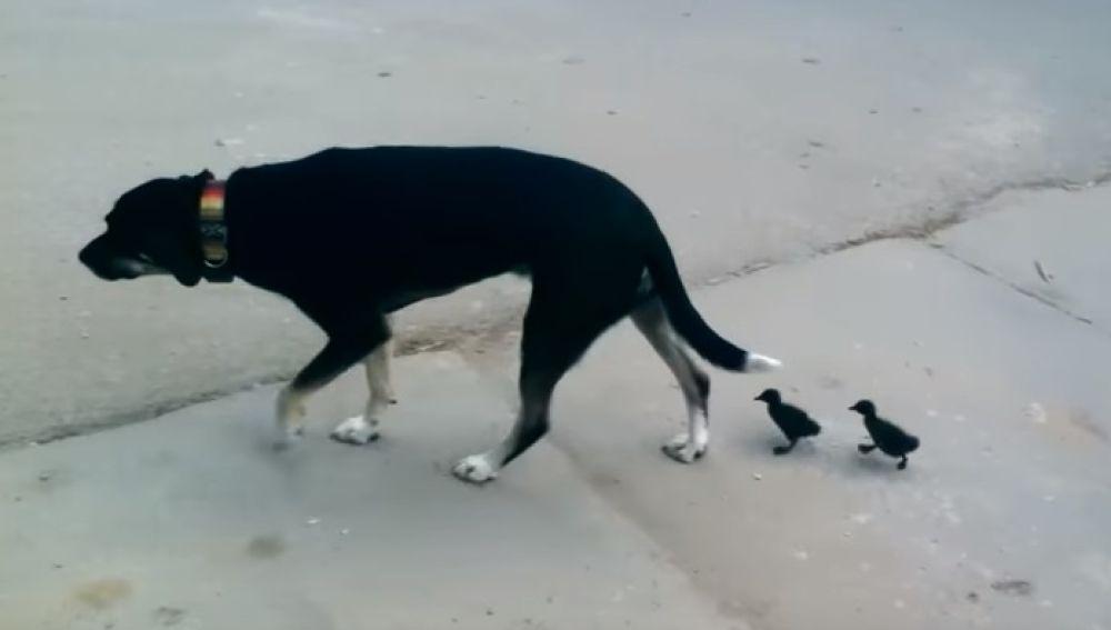 El perro y los dos patitos