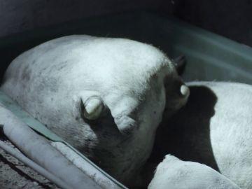 Stranger Pigs en Salvados