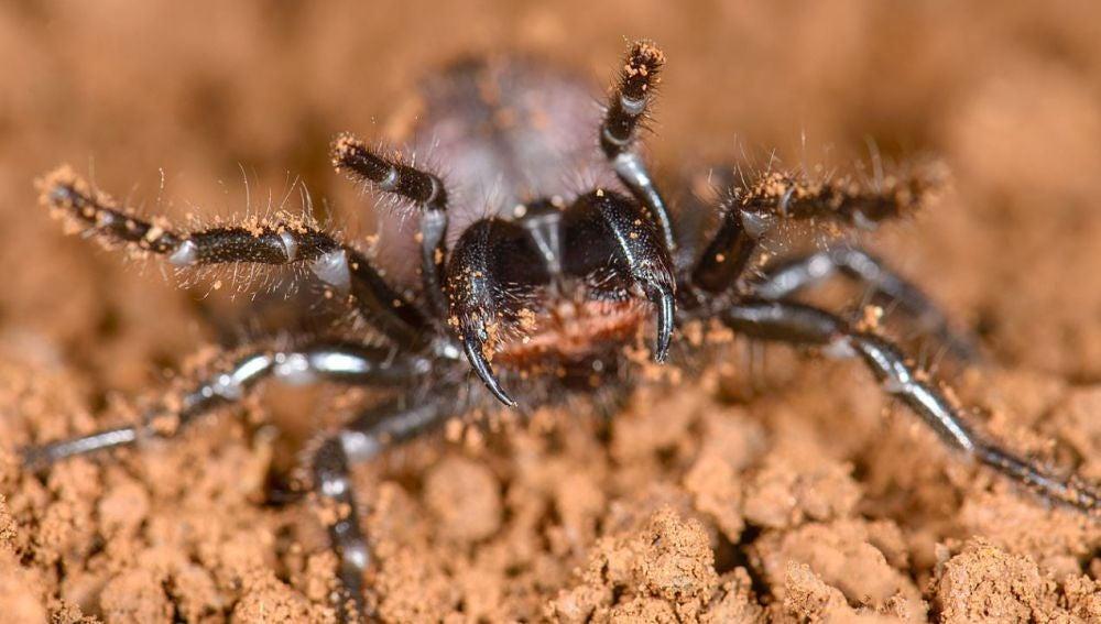 Las aranas mas venenosas del mundo son primas hermanas