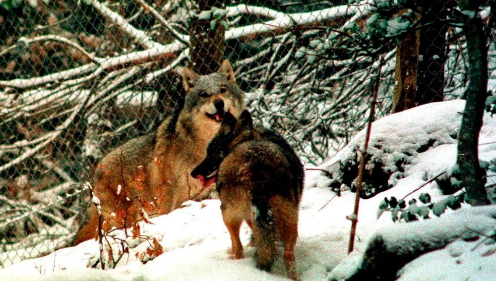 Francia autoriza matar 40 lobos para minimizar los ataques al ganado