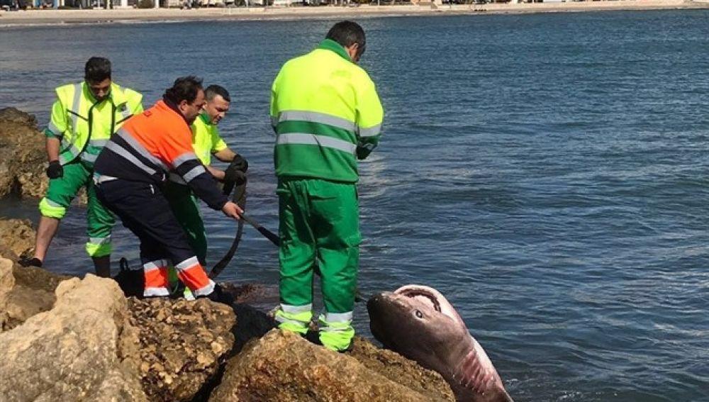 Operarios trasladando el tiburón a la orilla de la playa