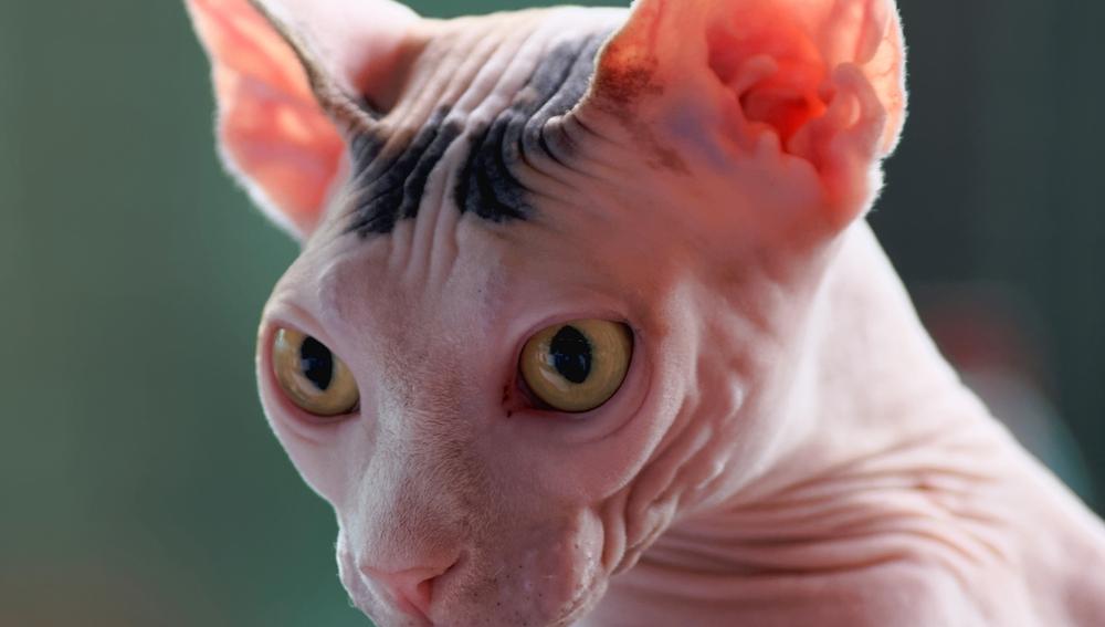 El cuerpo de los esbeltos gatos esfinge está recubierto por pelo fino