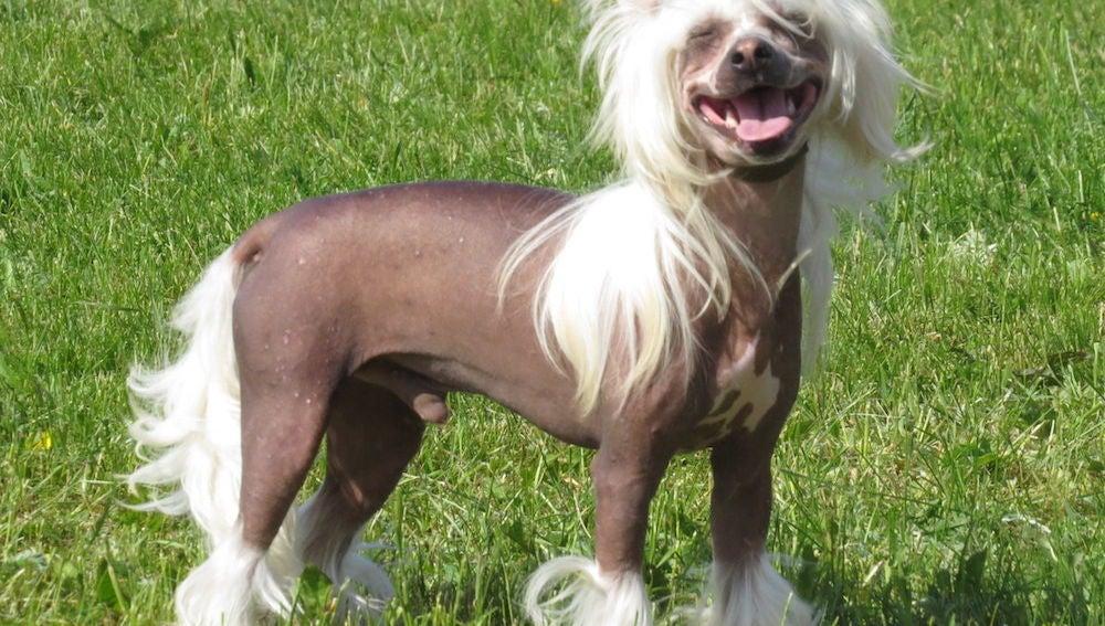 Los crestados chinos son una raza canina seleccionada para perder el pelo