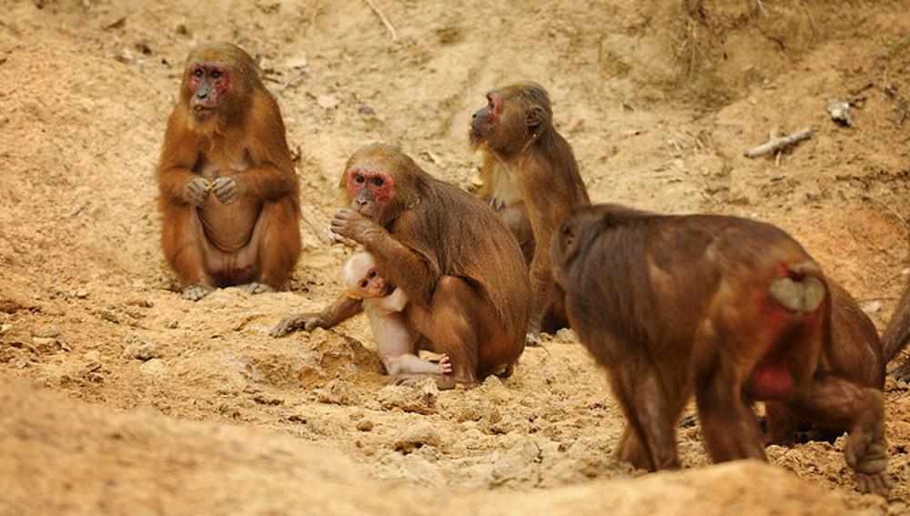 Los macacos rabones ('Macaca arctoides') pueden perder el pelo de forma similar a las personas