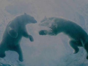 Día Internacional del Oso Polar: ¿por qué nuestros hijos no los conocerán?