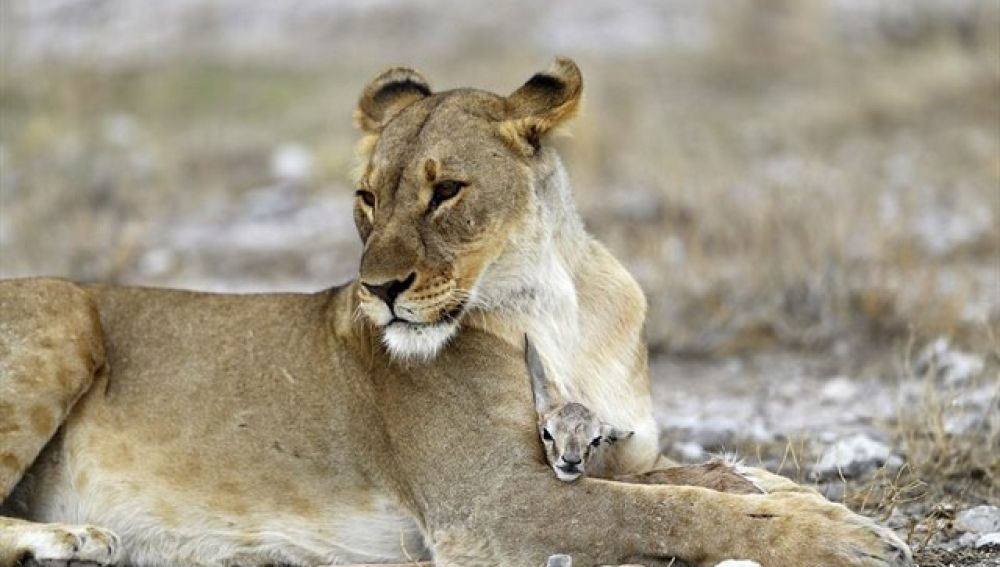 Una leona cuida de una cría de antílope