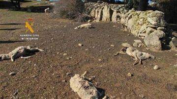 Cadáveres de ovejas en la finca investigada