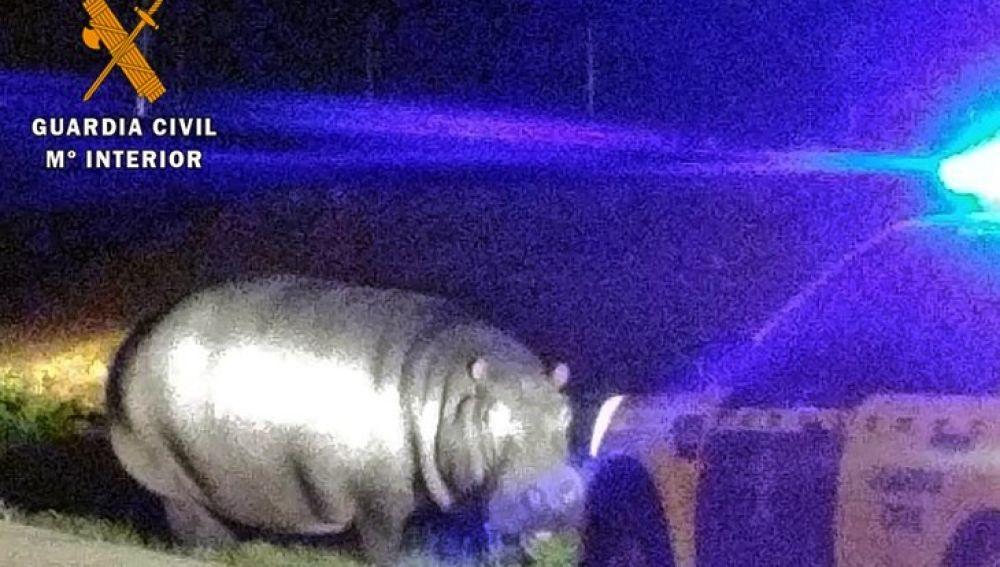 Hipopótamo en las inmediaciones de La Garrovilla, Badajoz
