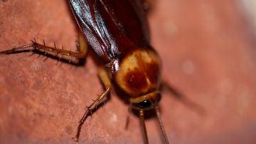 La genética de las cucarachas les ayuda a sobrevivir en ambientes plagados de gérmenes