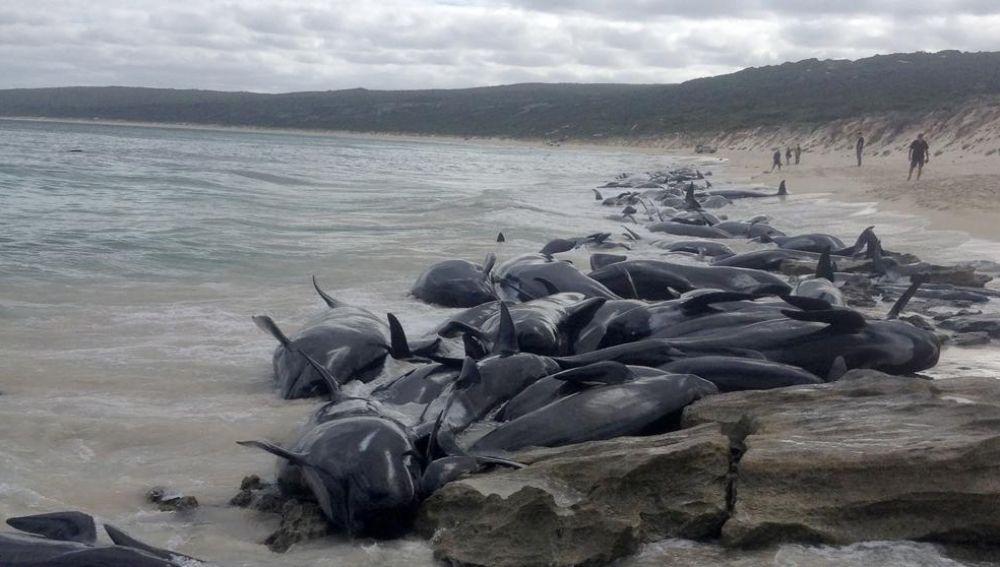 Decenas de ballenas varadas en la bahía de Hamelin