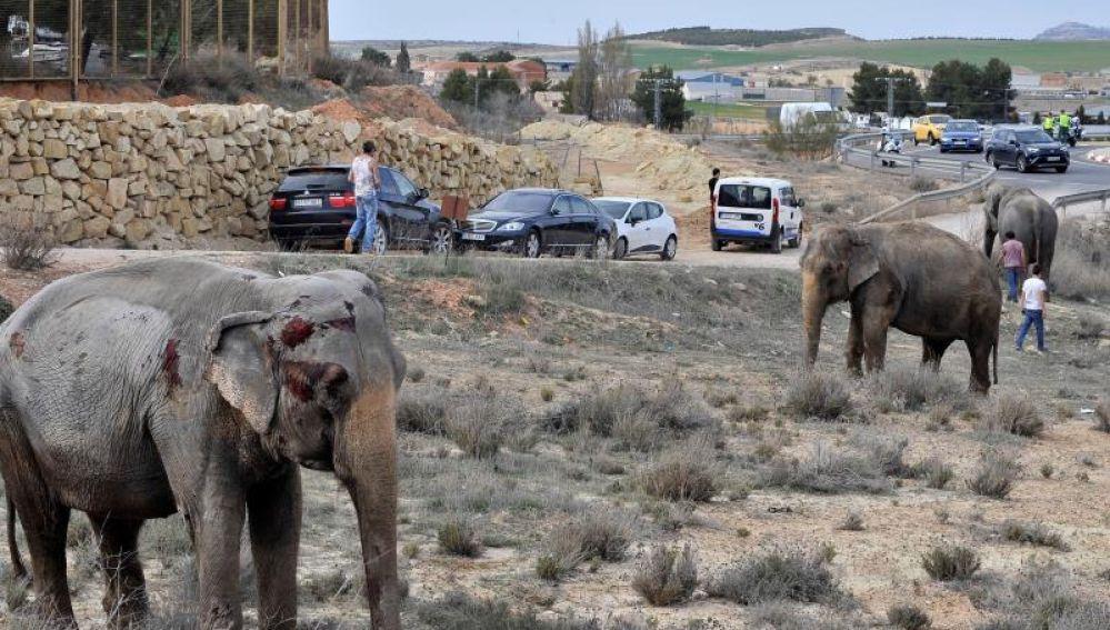 Uno de los elefantes que resultó herido tras volcar el camión en el que viajaba en la A-30