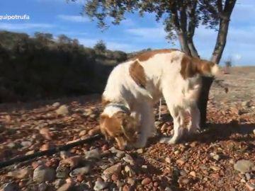 Un perro en busca de trufas