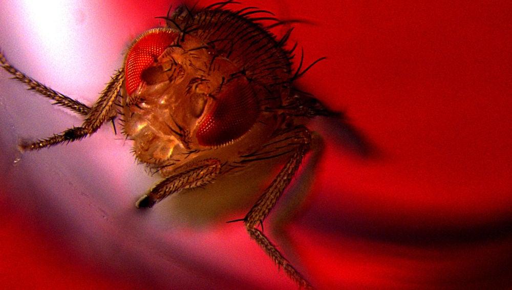 Mosca de la fruta macho expuesta a luz roja para activar su eyaculación por optogenética