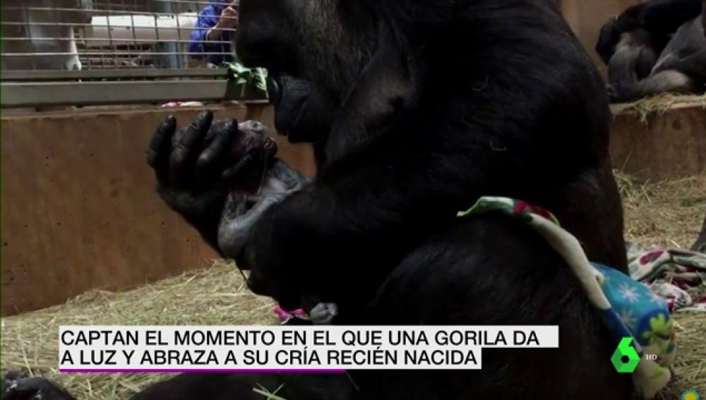 Gorila primeriza y su bebé