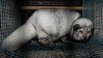 Imagen de un zorro con sobrpepeso