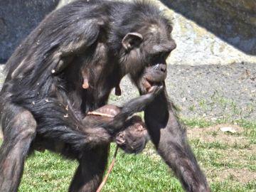 Imagen de archivo de una cría de chimpancé en Valencia
