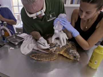 Jalis de la Serna ve cómo curan a una tortuga