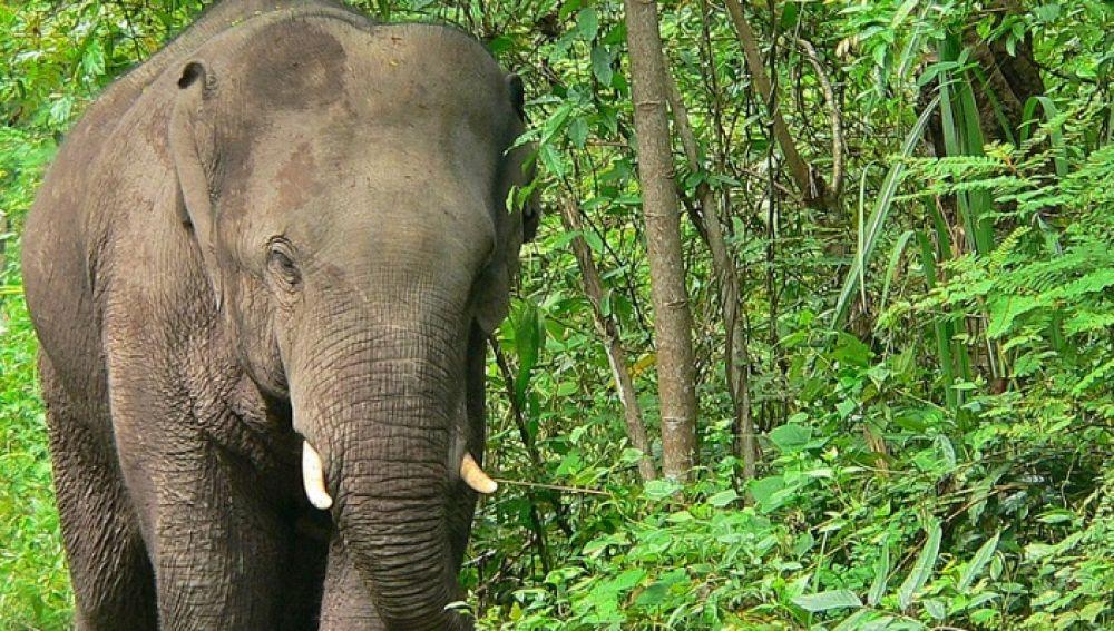 Imagen de un elefante asiático