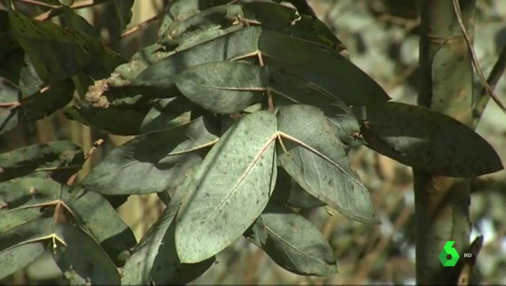 Hojas de eucalipto