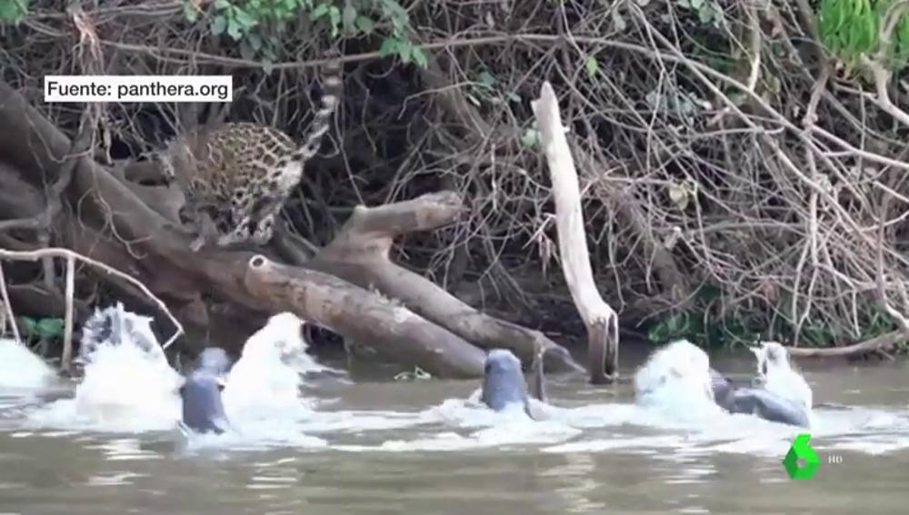 Jaguar huye de nutrias
