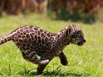 Una de las crías de Jaguar
